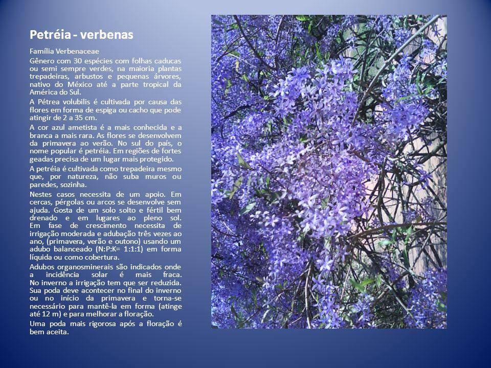 Petréia - verbenas Família Verbenaceae Gênero com 30 espécies com folhas caducas ou semi sempre verdes, na maioria plantas trepadeiras, arbustos e peq
