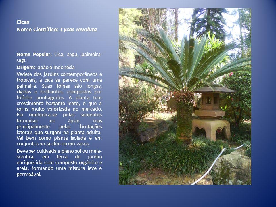Cicas Nome Científico: Cycas revoluta Nome Popular: Cica, sagu, palmeira- sagu Origem: Japão e Indonésia Vedete dos jardins contemporâneos e tropicais