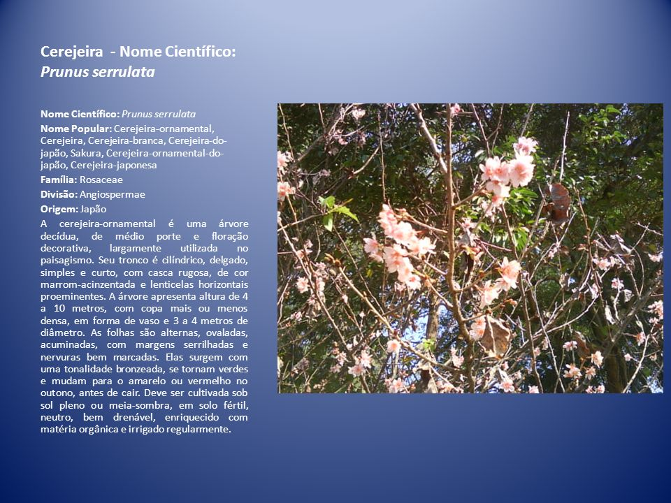 Cerejeira - Nome Científico: Prunus serrulata Nome Científico: Prunus serrulata Nome Popular: Cerejeira-ornamental, Cerejeira, Cerejeira-branca, Cerej