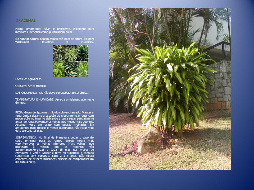 DRACENAS Planta ornamental fiável e resistente, excelente para interiores. Benéfica como purificadora do ar. No habitat natural podem atingir até 10 m