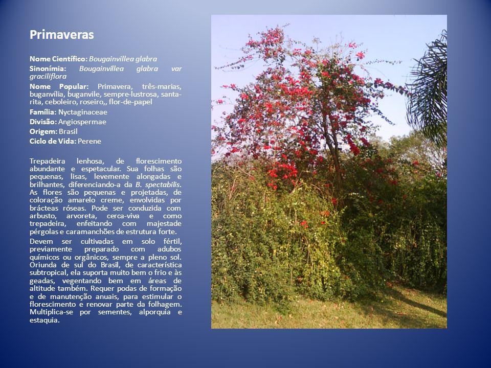 Primaveras Nome Científico: Bougainvillea glabra Sinonímia: Bougainvillea glabra var graciliflora Nome Popular: Primavera, três-marias, buganvília, bu