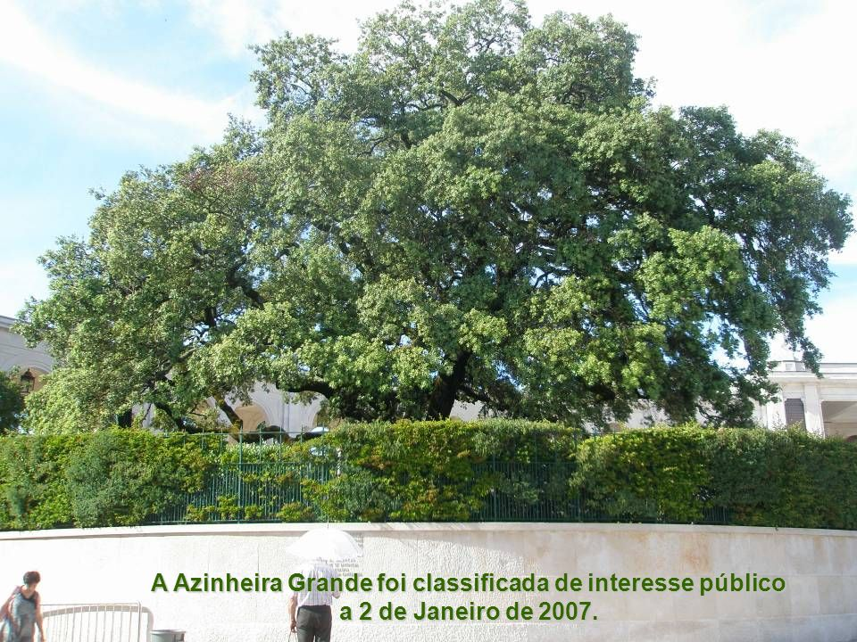 Esta árvore tem mais de 100 anos e era a maior existente na Cova da Iria, em 1917. Não foi sobre ela que Nossa Senhora apareceu, mas está relacionada