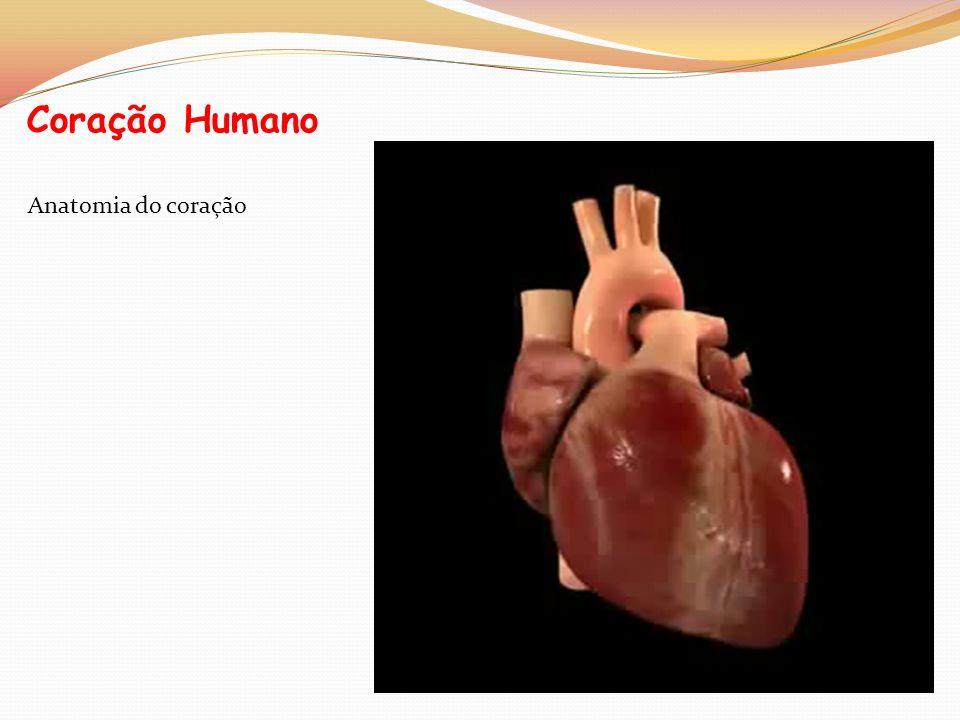 Curiosidades Se pudéssemos seguir o percurso de uma gota de sangue, vê-la-íamos passar pelo coração mais de 1000 vezes por dia; O coração bate num dia mais de 100 mil vezes; O sistema cardiovascular contém, em média, 4,5 litros de sangue; O coração de um recém-nascido bate entre 130 e 140 vezes num minuto; o de um adulto, entre 60 e 80 vezes; Um milímetro cúbico de sangue contém cerca de 5 milhões de glóbulos vermelhos.