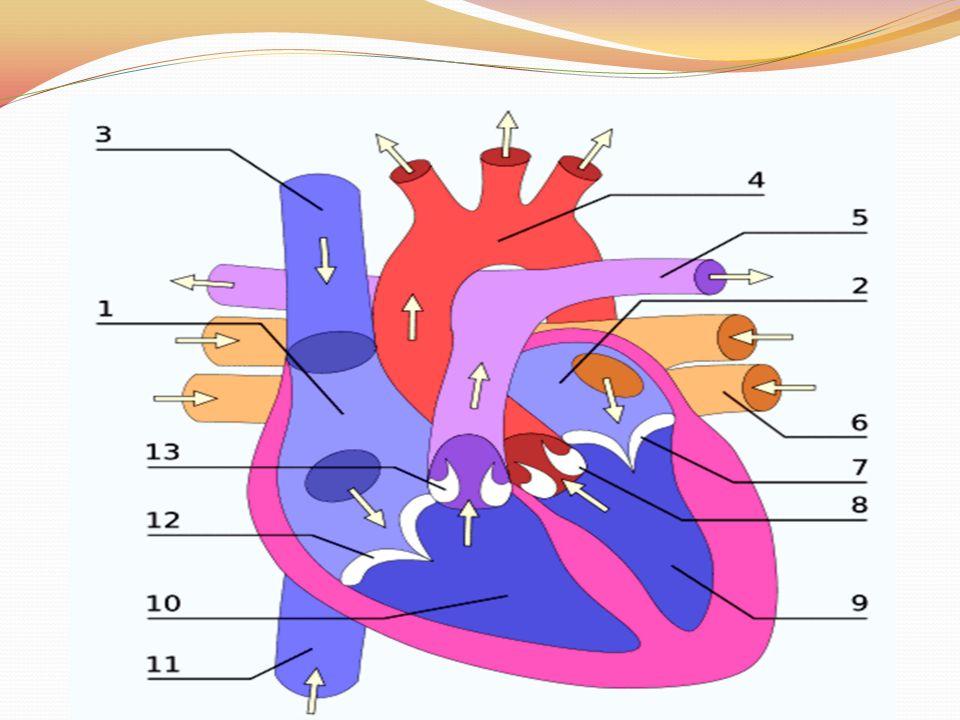 Coração: pericárdio, miocárdio endocárdio.