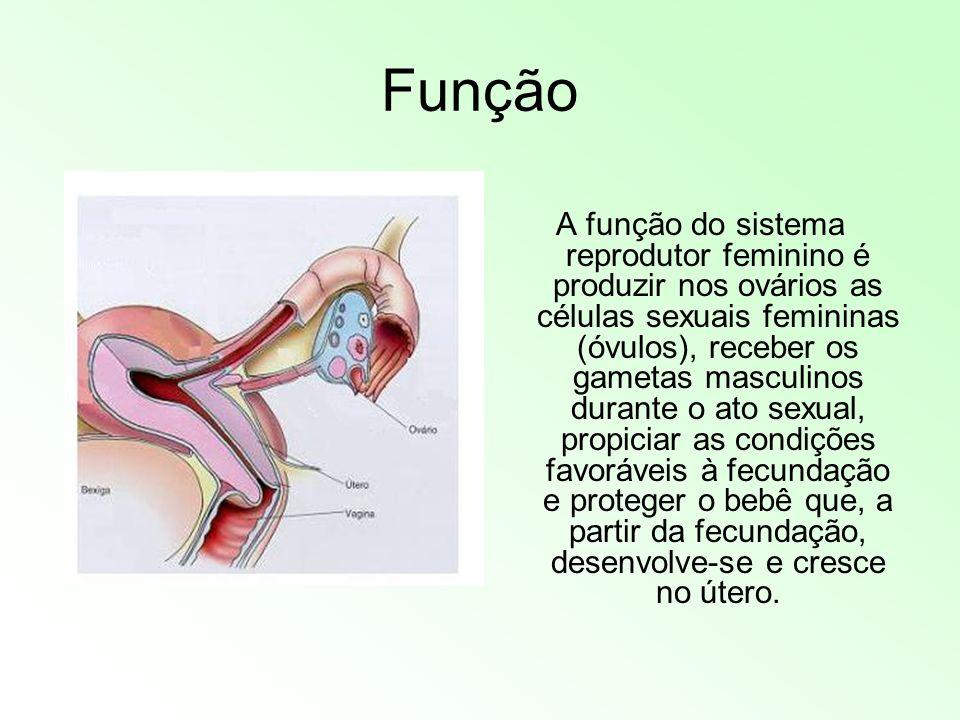 Órgãos Útero Tubas Uterinas Vagina Ovário