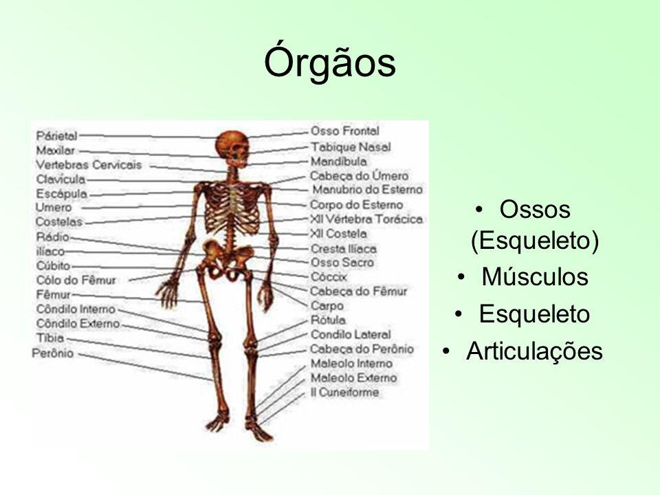 Órgãos Ossos (Esqueleto) Músculos Esqueleto Articulações