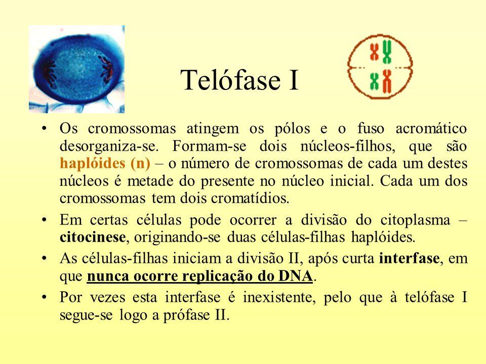 Telófase I Os cromossomas atingem os pólos e o fuso acromático desorganiza-se. Formam-se dois núcleos-filhos, que são haplóides (n) – o número de crom