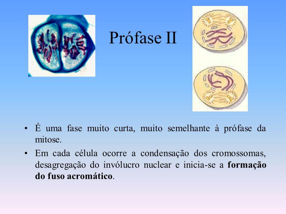 Prófase II É uma fase muito curta, muito semelhante à prófase da mitose. Em cada célula ocorre a condensação dos cromossomas, desagregação do invólucr