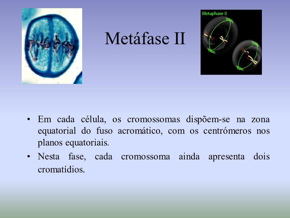 Metáfase II Em cada célula, os cromossomas dispõem-se na zona equatorial do fuso acromático, com os centrómeros nos planos equatoriais. Nesta fase, ca