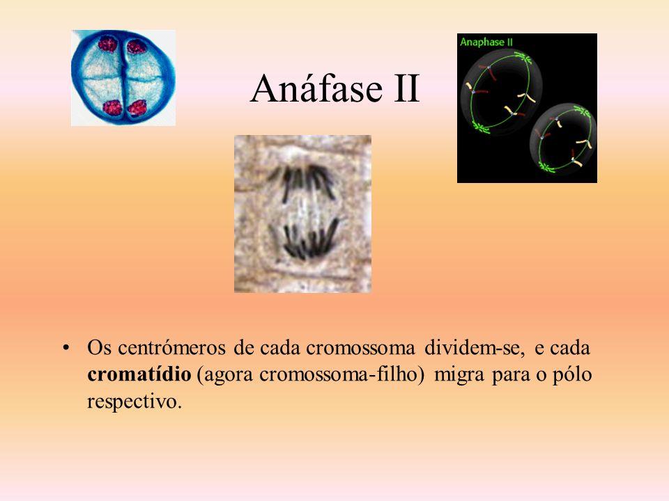 Anáfase II Os centrómeros de cada cromossoma dividem-se, e cada cromatídio (agora cromossoma-filho) migra para o pólo respectivo.