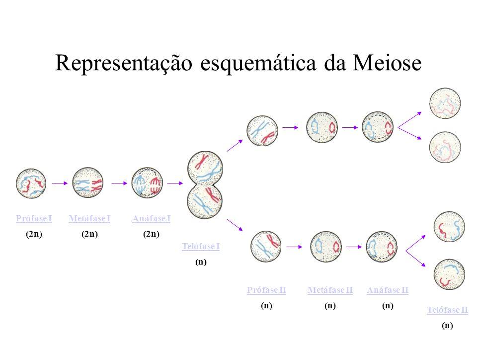 Representação esquemática da Meiose Prófase I (2n) Metáfase I (2n) Anáfase I (2n) Telófase I (n) Prófase II (n) Metáfase II (n) Anáfase II (n) Telófas