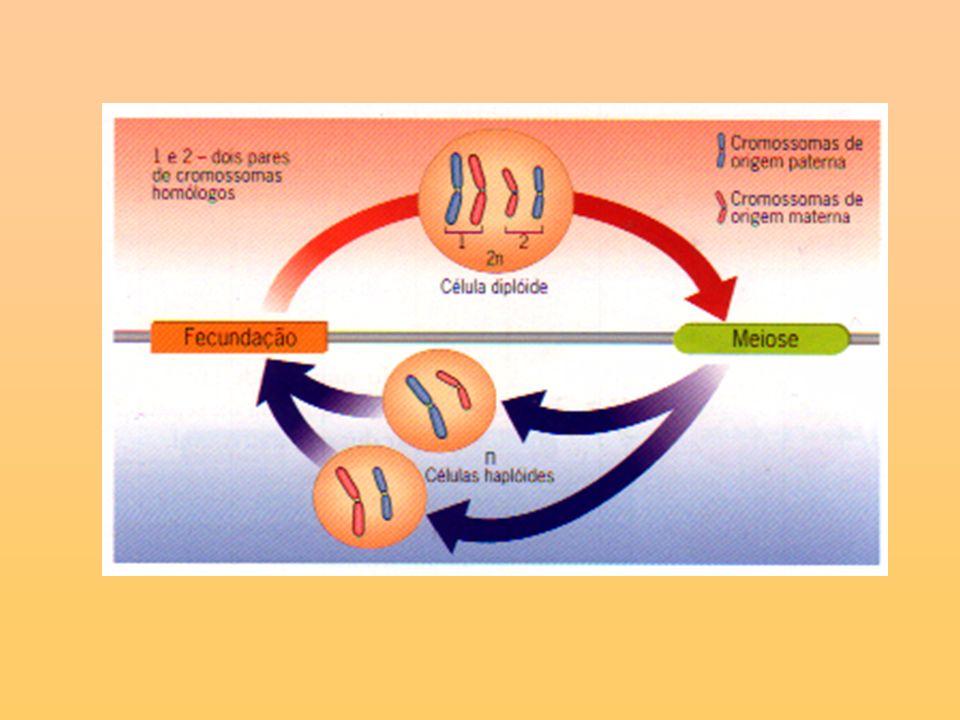 Telófase I Os cromossomas atingem os pólos e o fuso acromático desorganiza-se.