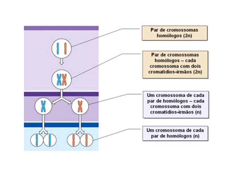 Metáfase II Em cada célula, os cromossomas dispõem-se na zona equatorial do fuso acromático, com os centrómeros nos planos equatoriais.