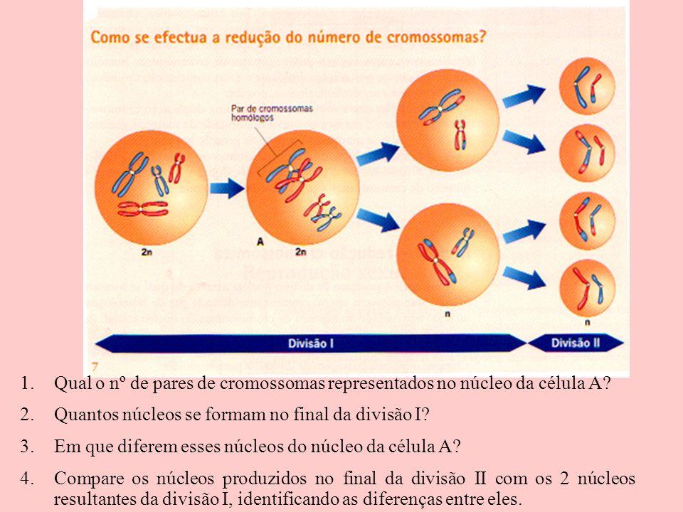 1.Qual o nº de pares de cromossomas representados no núcleo da célula A? 2.Quantos núcleos se formam no final da divisão I? 3.Em que diferem esses núc