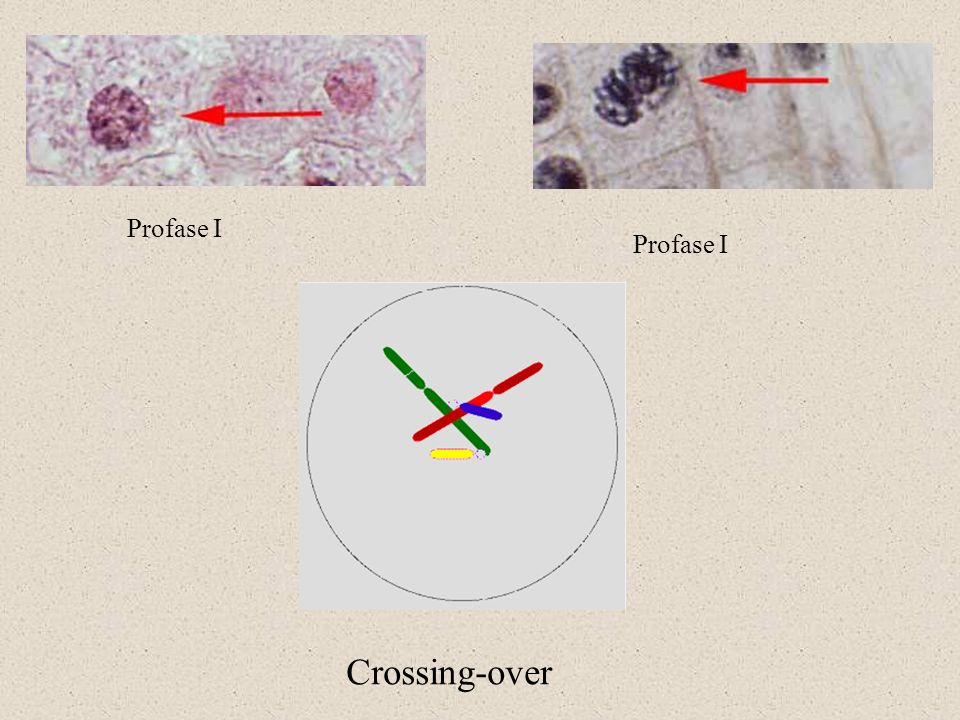 Crossing-over Profase I