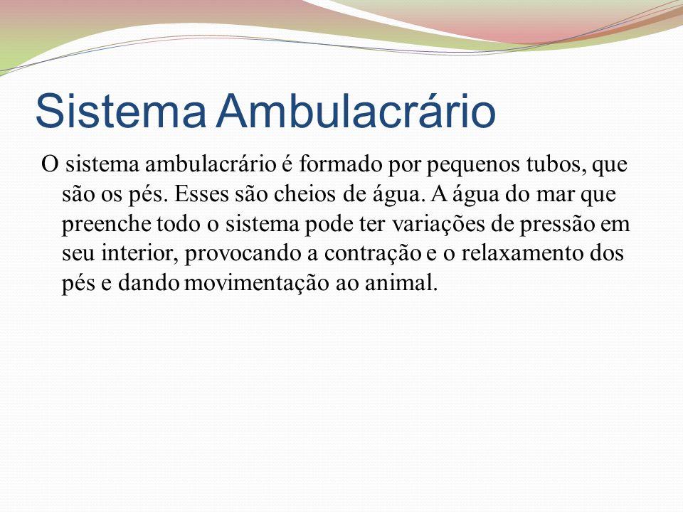 Sistema Ambulacrário O sistema ambulacrário é formado por pequenos tubos, que são os pés.