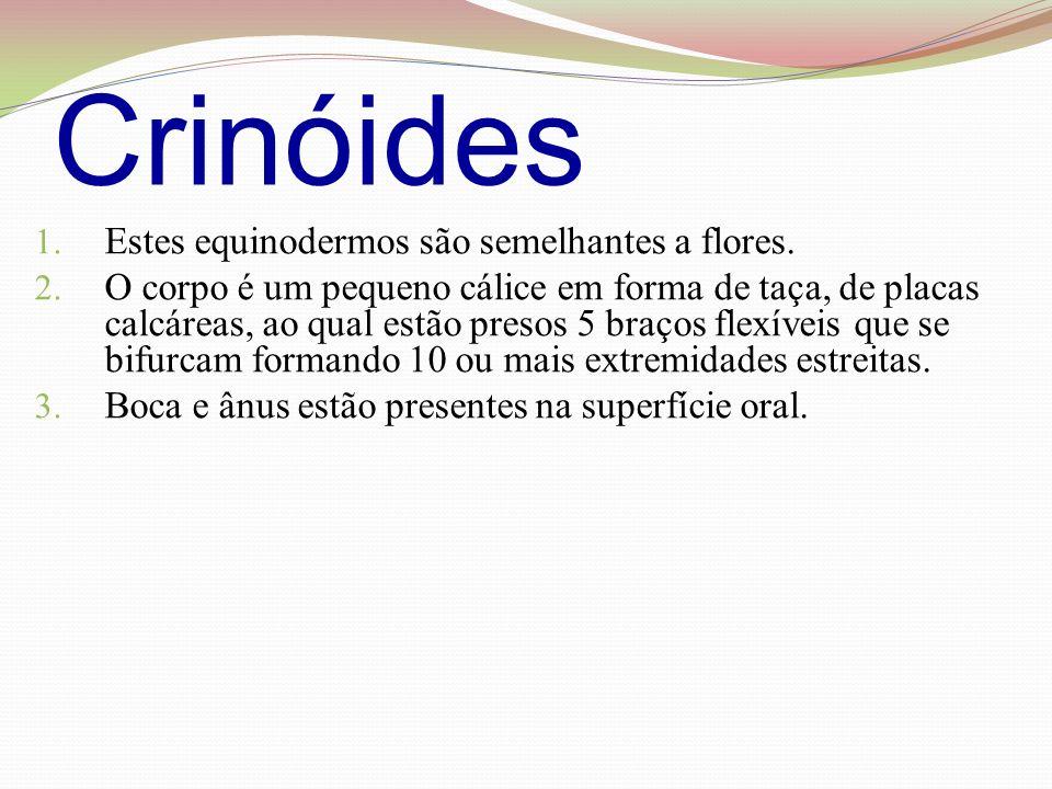 Crinóides 1.Estes equinodermos são semelhantes a flores.