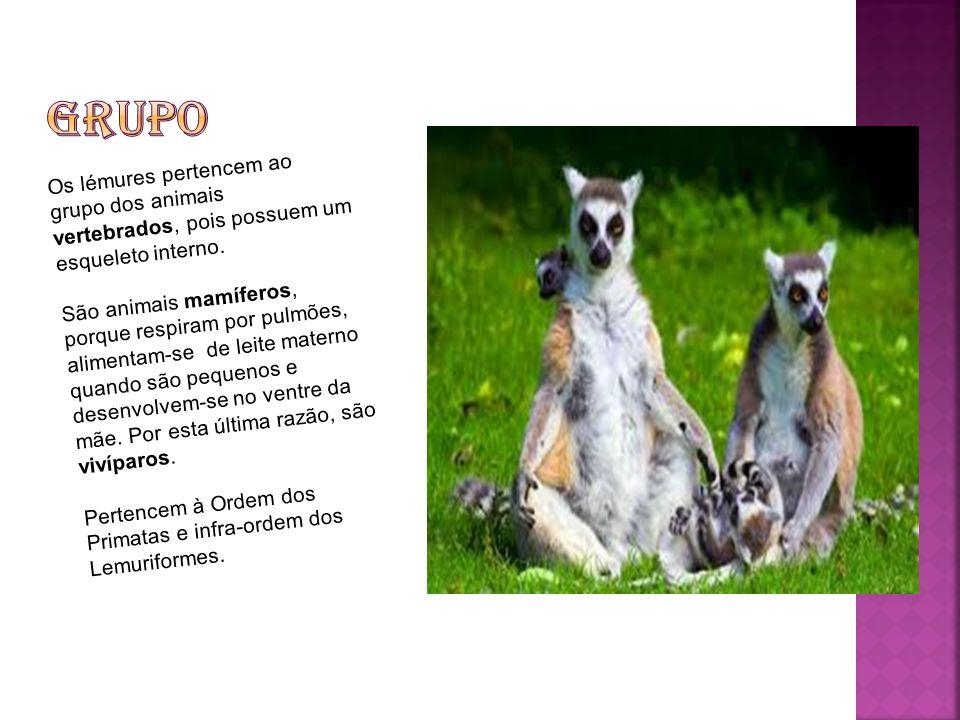 Os lémures são animais com o corpo coberto de pelo lanoso e muito macio.