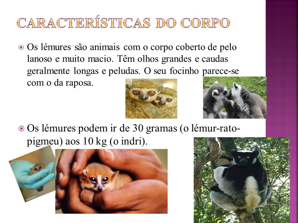 Os lémures vivem nas árvores das florestas tropicais da Ilha de Madagáscar (quarta maior ilha do planeta) e em algumas pequenas ilhas circundantes.