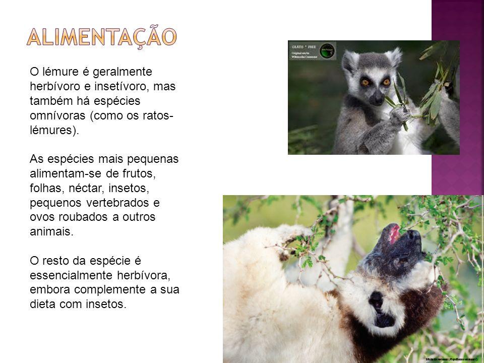 O lémure é geralmente herbívoro e insetívoro, mas também há espécies omnívoras (como os ratos- lémures).