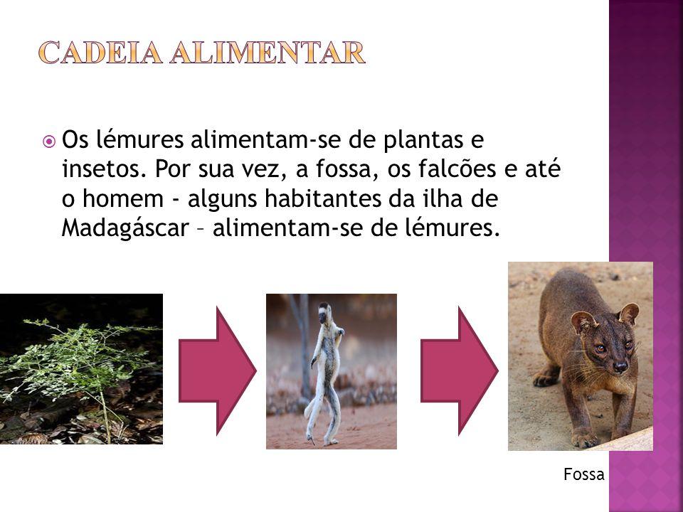 Os lémures alimentam-se de plantas e insetos.
