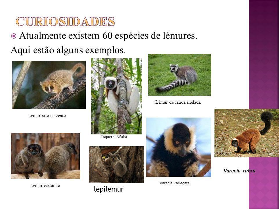 Atualmente existem 60 espécies de lémures.Aqui estão alguns exemplos.