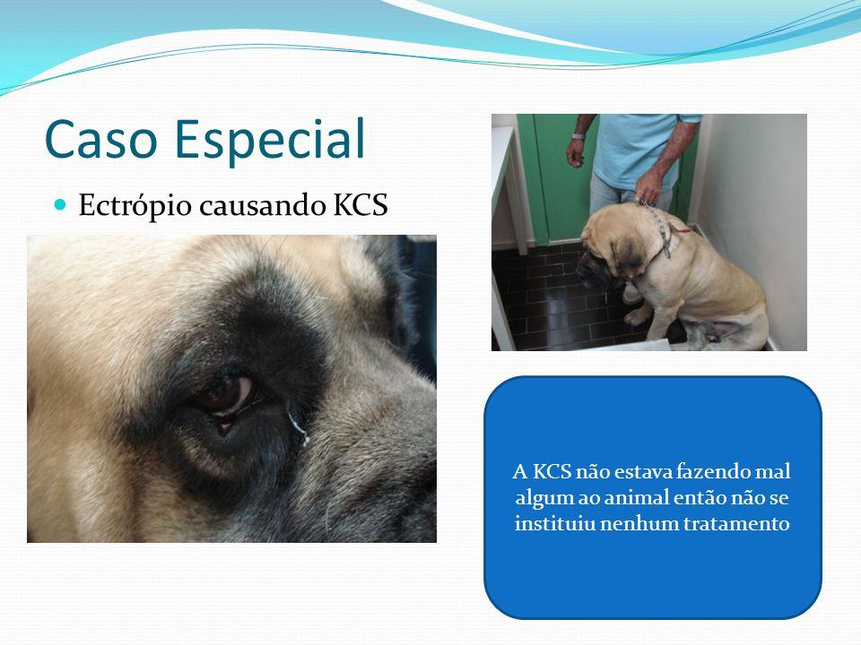 Caso Especial Ectrópio causando KCS A KCS não estava fazendo mal algum ao animal então não se instituiu nenhum tratamento