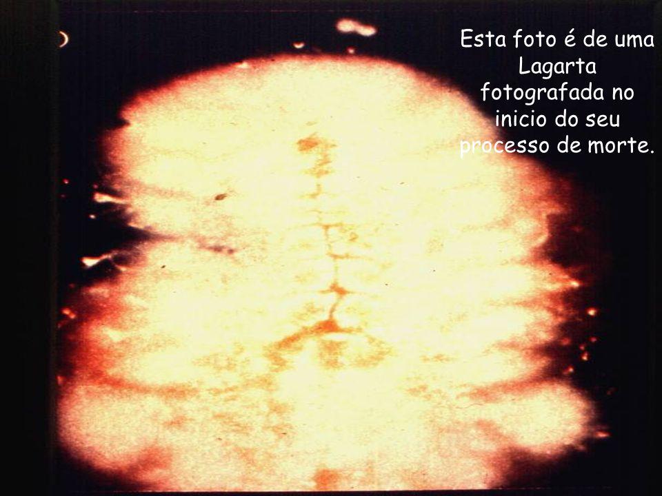 A próxima seqüência de fotos foram tiradas por um colega de Belo Horizonte, Vinicius. Segundo relato uma lagarta foi sacrificada e fotografada passo a