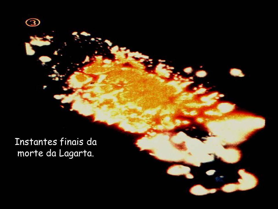 Continuando o processo de morte da Lagarta.