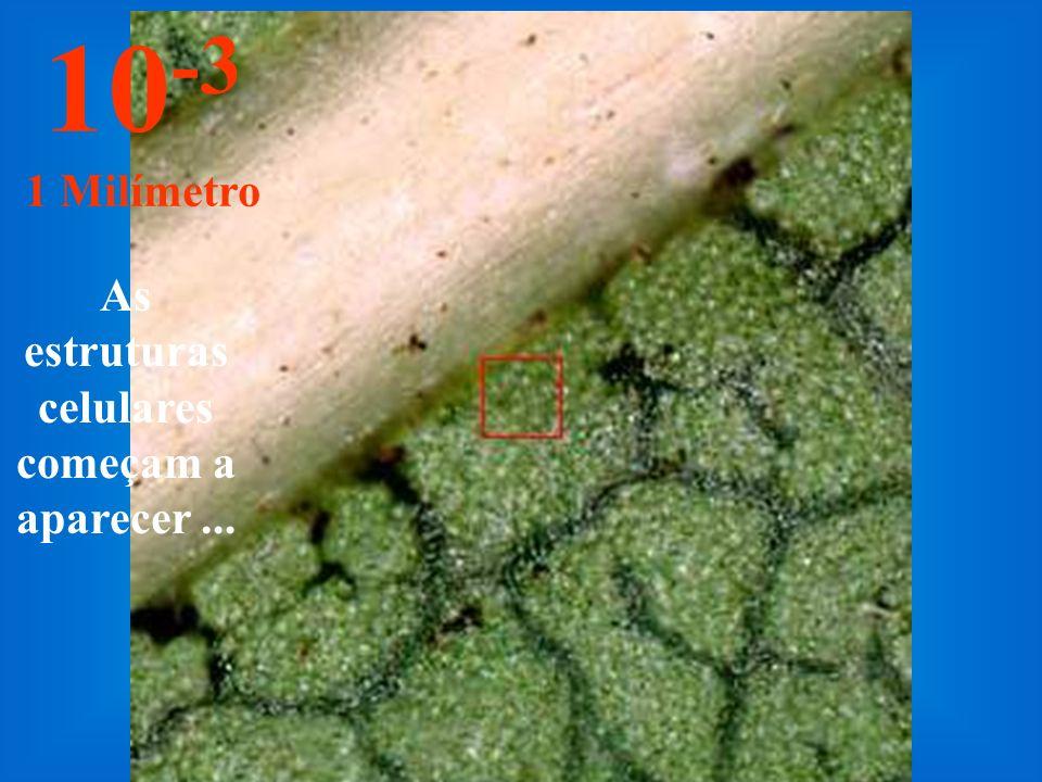 Nesta distância é possível enxergar as primeiras estruturas da folha. 10 -2 1 Centímetro
