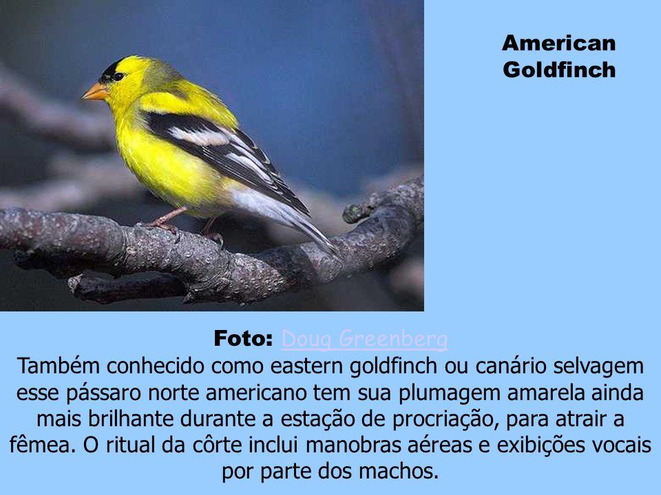 Cardeal Os machos de tais aves possuem plumagem inteiramente vermelha, com exceção da face e da garganta, que são negras. Esta espécie apresenta uma g