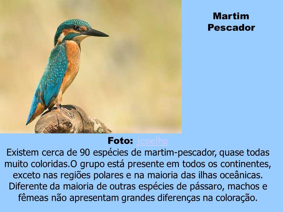 Wood Duck O macho adulto desta espécie tem uma distintiva plumagem multicolorida e olhos vermelhos.A fêmea é um pouco menos colorida com partes branca