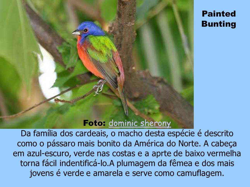 Blue Throated Bee-Eater Foto: Lip Kee Lip Kee Esses passarinhos caracterizam-se por sua plumagem ricamente colorida, corpo delgado e penas alongadas n