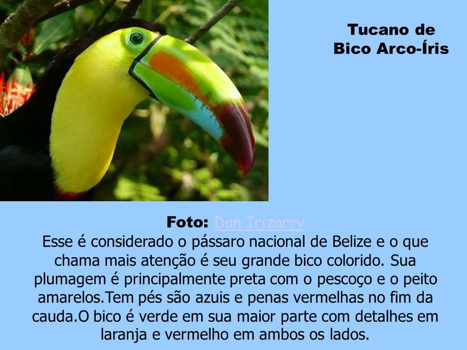 Painted Bunting Foto: dominic sherony dominic sherony Da família dos cardeais, o macho desta espécie é descrito como o pássaro mais bonito da América