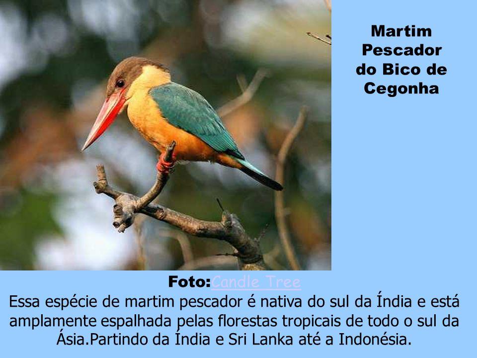 Arara Piranga Foto: alumroot alumroot Muitas vezes confundida com a arara vermelha, a arara piranga, é uma arara encontrada do México à Amazônia até o