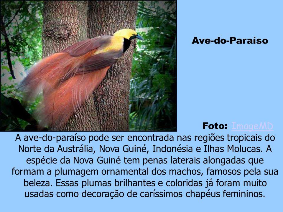 Faisão Dourado Foto: Márcio Cabral de MouraMárcio Cabral de Moura O faisão dourado é um pássaro da ordem dos galináceos nativo das florestas das regiõ