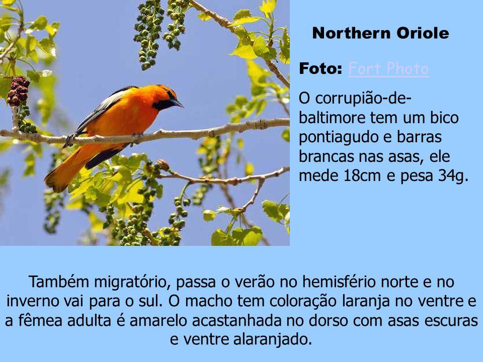 Foto: Whitevale Wonder Whitevale Wonder Esse é um pássaro migratório americano que vive o leste da América do Norte e vai para o noroeste da América d