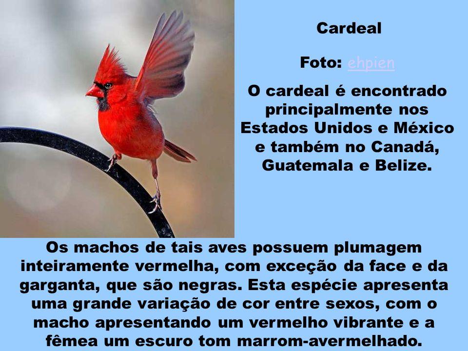 Mountain Bluebird Foto: shyalbatross shyalbatross Esse lindo pássaro azul de porte médio tem a plumagem numa incrível tonalidade de azul-celeste e pre