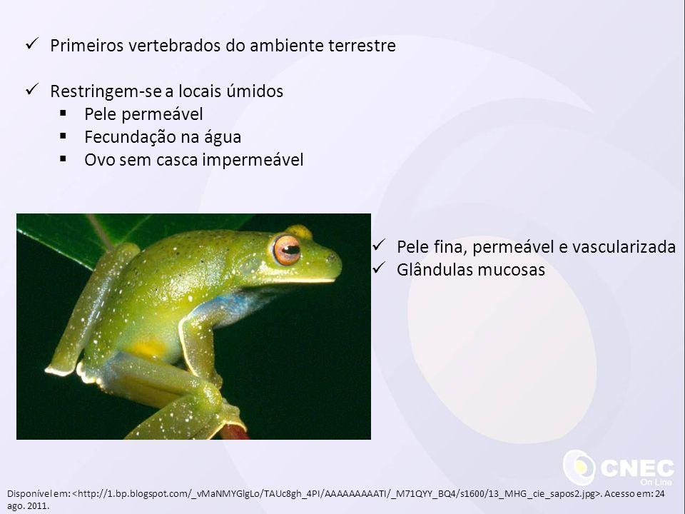 Primeiros vertebrados do ambiente terrestre Restringem-se a locais úmidos Pele permeável Fecundação na água Ovo sem casca impermeável Pele fina, perme