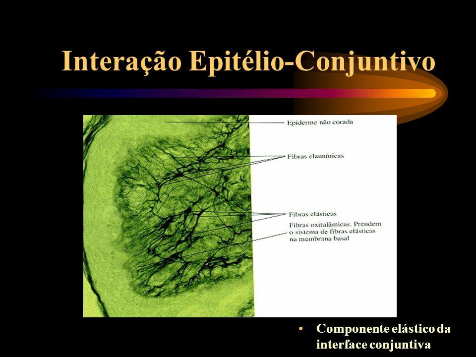 Interação Epitélio-Conjuntivo Eletromicrografia da interface epitélio-conjuntivo
