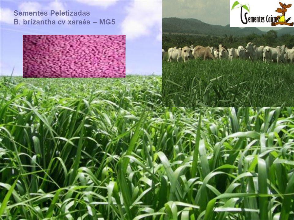 Sementes de pastagem tem que ter qualidade pois com qualidade você só vai obter lucro junto aos seus animais.