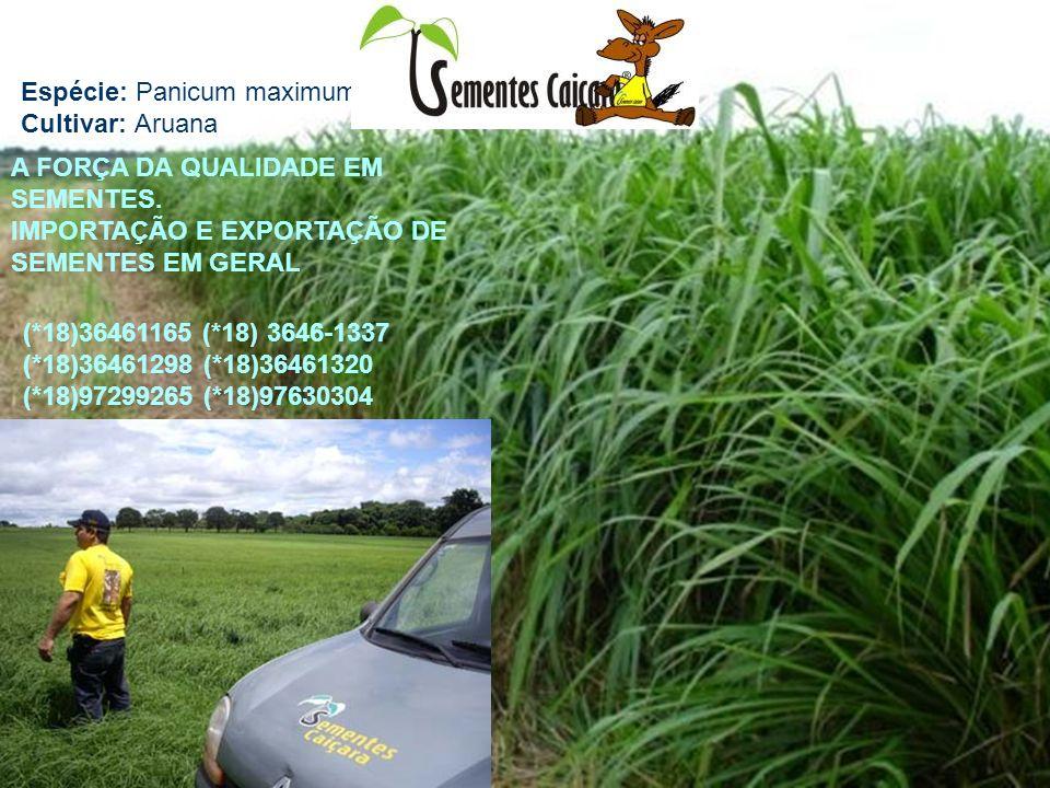 Espécie: Panicum maximum Cultivar: Aruana A FORÇA DA QUALIDADE EM SEMENTES. IMPORTAÇÃO E EXPORTAÇÃO DE SEMENTES EM GERAL (*18)36461165 (*18) 3646-1337