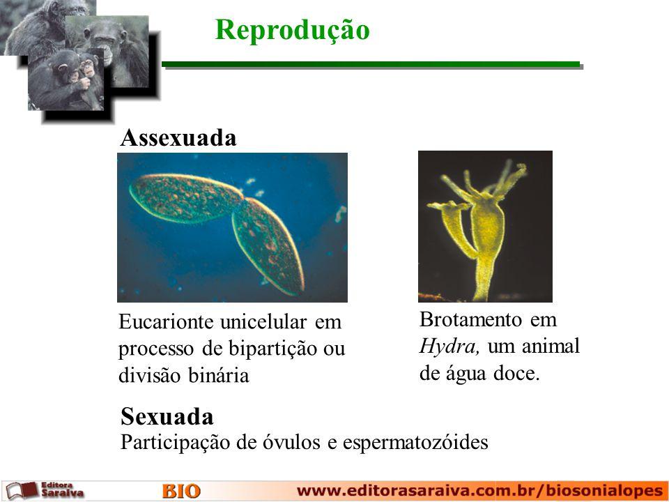Reprodução Eucarionte unicelular em processo de bipartição ou divisão binária Brotamento em Hydra, um animal de água doce. Assexuada Sexuada Participa