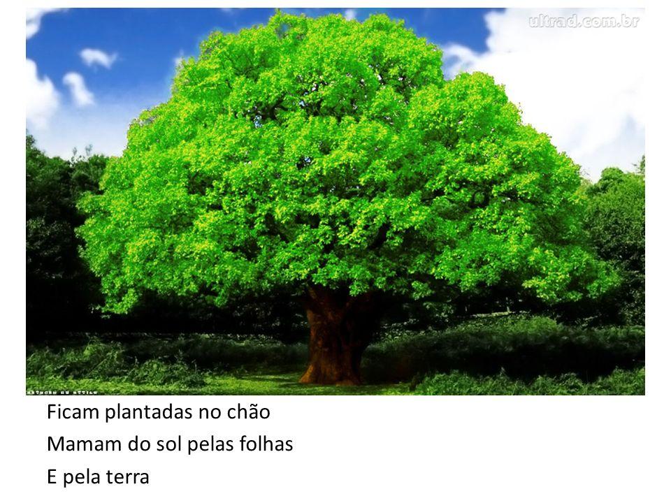 Ficam plantadas no chão Mamam do sol pelas folhas E pela terra