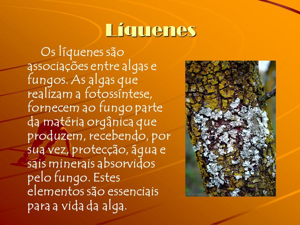 Líquenes Os líquenes são associações entre algas e fungos. As algas que realizam a fotossíntese, fornecem ao fungo parte da matéria orgânica que produ