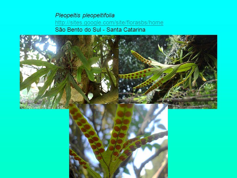 Blechnum brasiliense http://sites.google.com/site/florasbs/home São Bento do Sul - Santa Catarina http://sites.google.com/site/florasbs/home