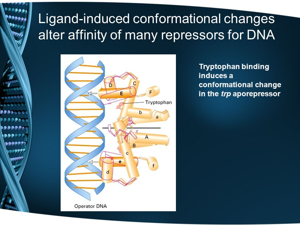 Ligand-induced conformational changes alter affinity of many repressors for DNA Tryptophan binding induces a conformational change in the trp aporepre