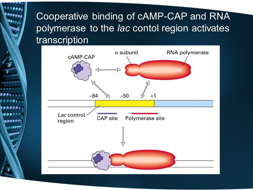Cooperative binding of cAMP-CAP and RNA polymerase to the lac contol region activates transcription