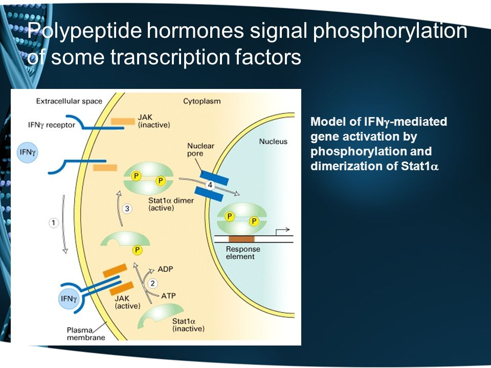 Polypeptide hormones signal phosphorylation of some transcription factors Model of IFN -mediated gene activation by phosphorylation and dimerization o