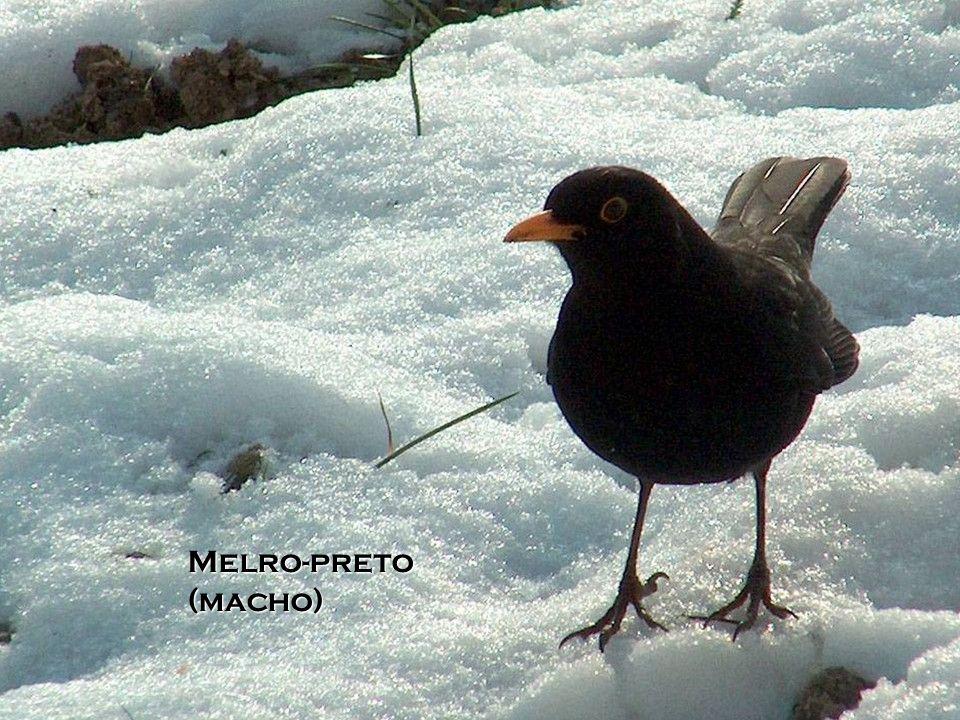 Melro-preto (macho)